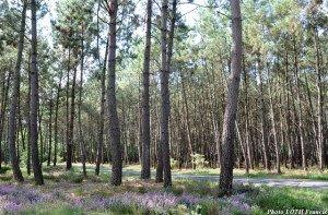 Forêt de conifères près de Baugé (49)