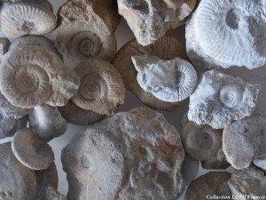 Fossiles du Maine-et-Loire - Ammonites de Montreuil-Bellay