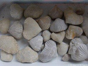 Fossiles du Maine-et-Loire - Brachiopodes de Noyant-la-Plaine