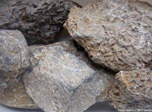 Fossiles du Maine-et-Loire - Coraux de Montjean-sur-Loire