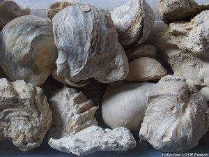 Fossiles du Maine-et-Loire - Huîtres de Noyant-la-Plaine