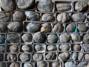 Fossiles du Maine-et-Loire - Trilobites de La Meignanne