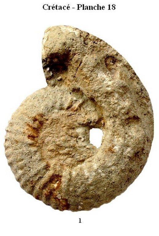 Crétacé 18 (Ammonites)