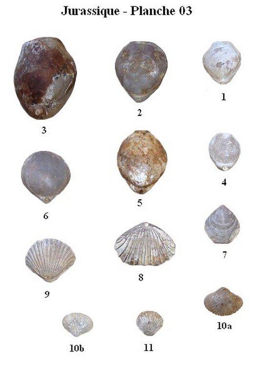 Jurassique 03 (Brachiopodes)