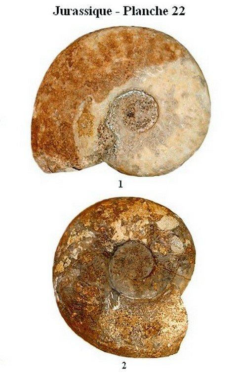 Jurassique 22 (Ammonites)
