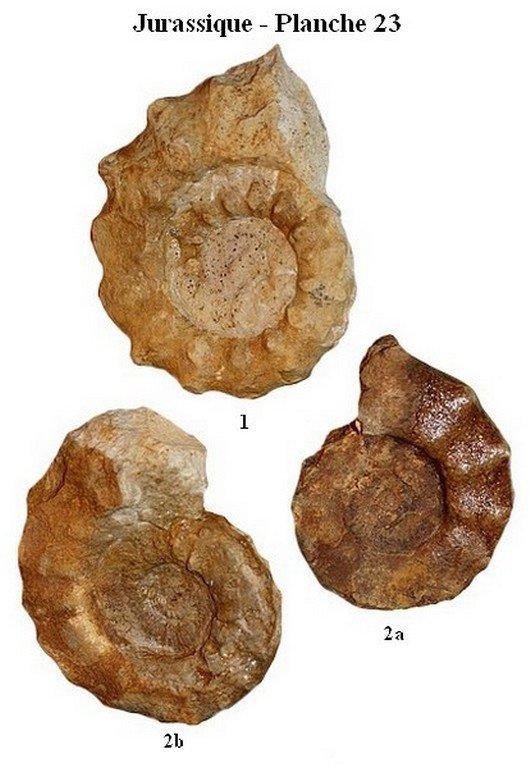 Jurassique 23 (Ammonites)