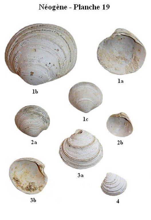 Néogène 19 (Bivalves)