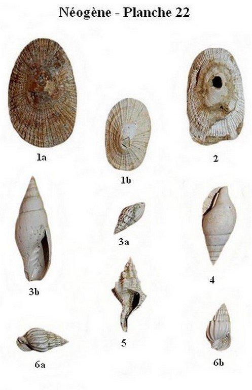 Néogène 22 (Gastéropodes)