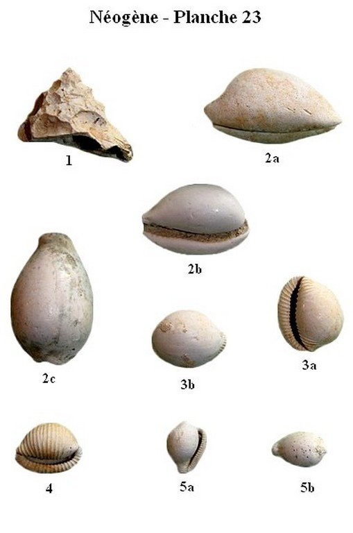 Néogène 23 (Gastéropodes)