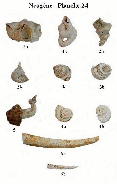 Néogène 24 (Gastéropodes et scaphopodes)