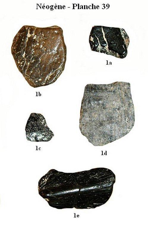 Néogène 39 (Reptiles)