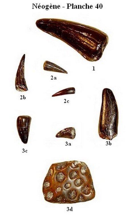 Néogène 40 (Reptiles)